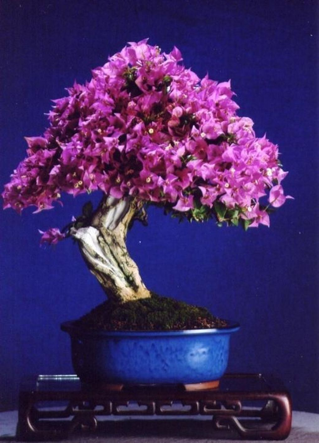 46 Very Attractive Bonsai Indoor Trees Ideas For Indoor Decorations