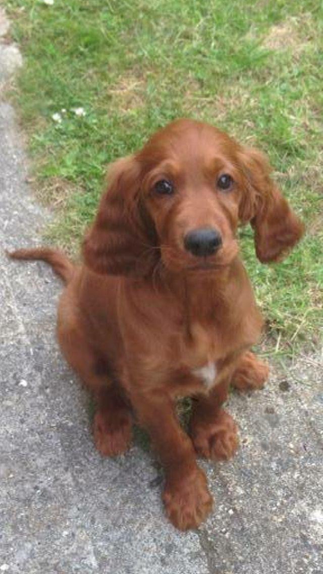 Puppy Irish red setter dog - little Finbar! Araki Claret Cloak