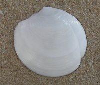 Seashell Identification Pensacola Beach