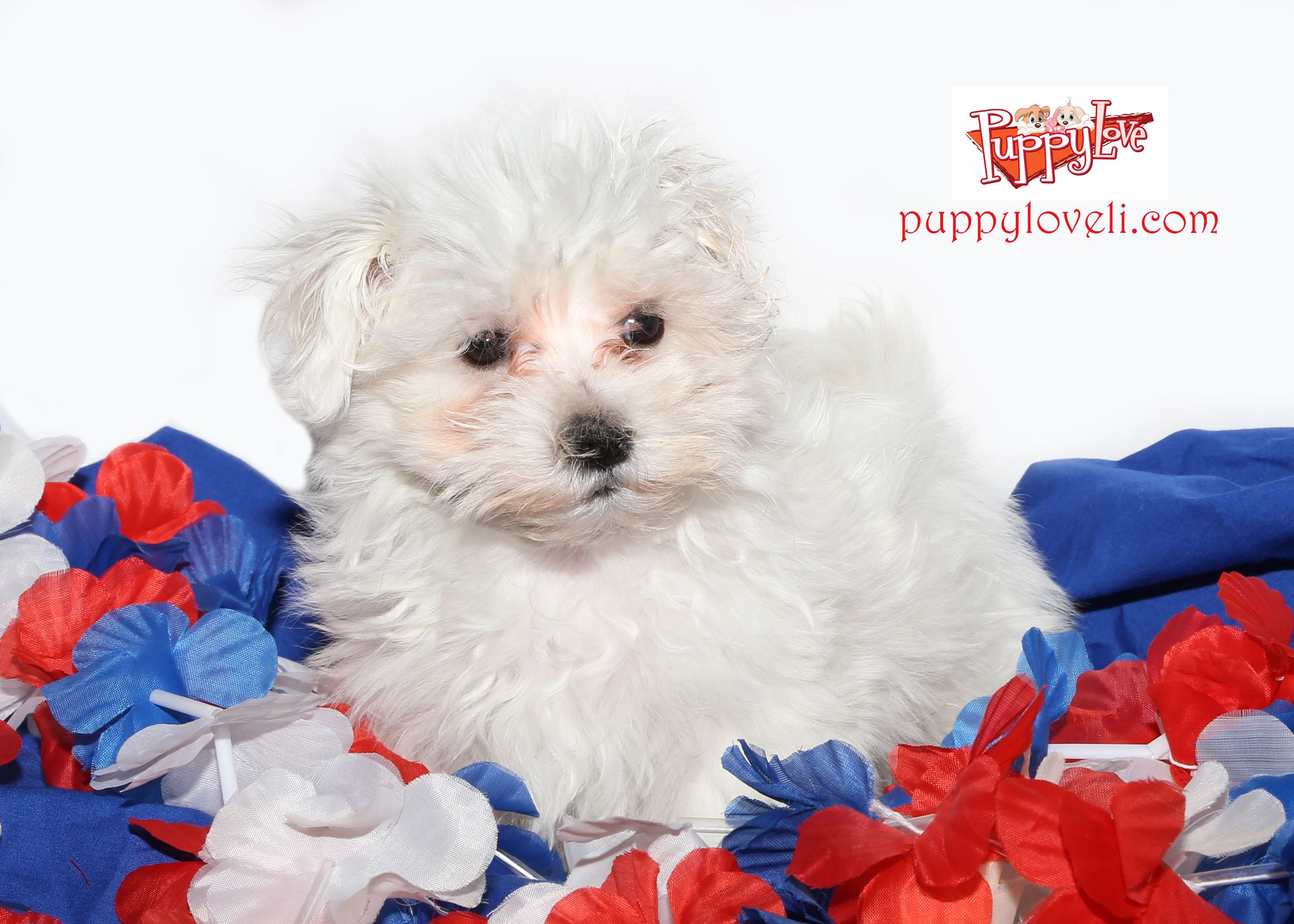 Maltese For Sale On Long Island At Puppy Love In Franklin Square