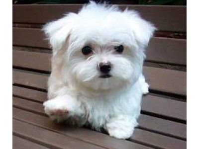 Image Detail For Absolutely Gorgeous Toy Maltese Puppies Best