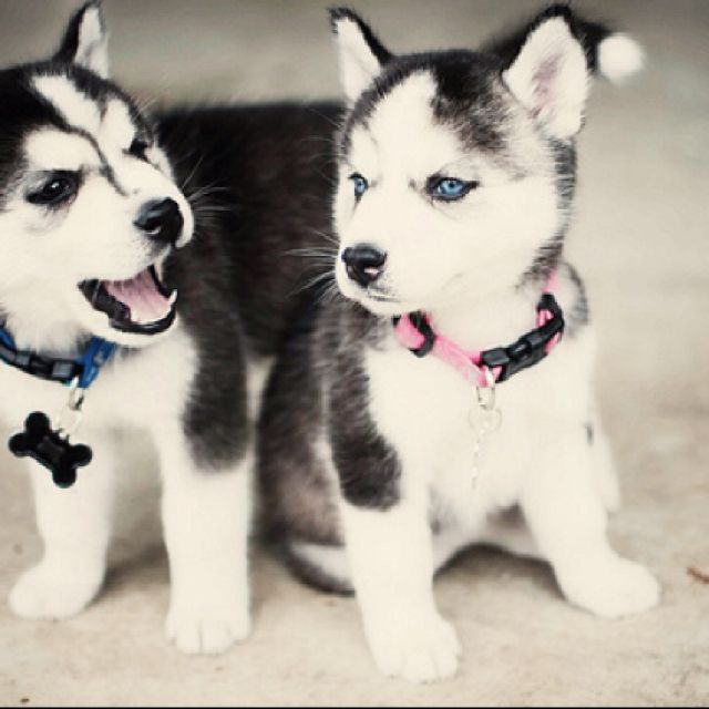 puppy huskies