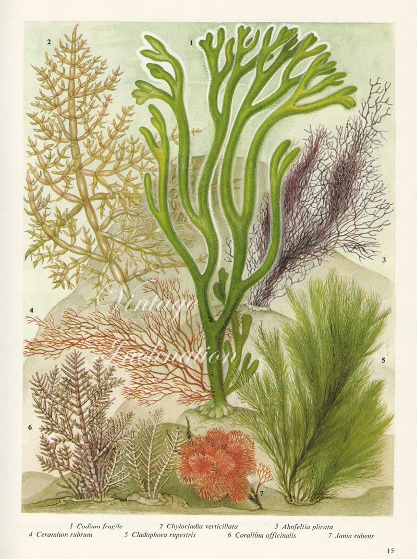 Vintage Botanical Print Antique BRITISH SEAWEED 15, plant print ...