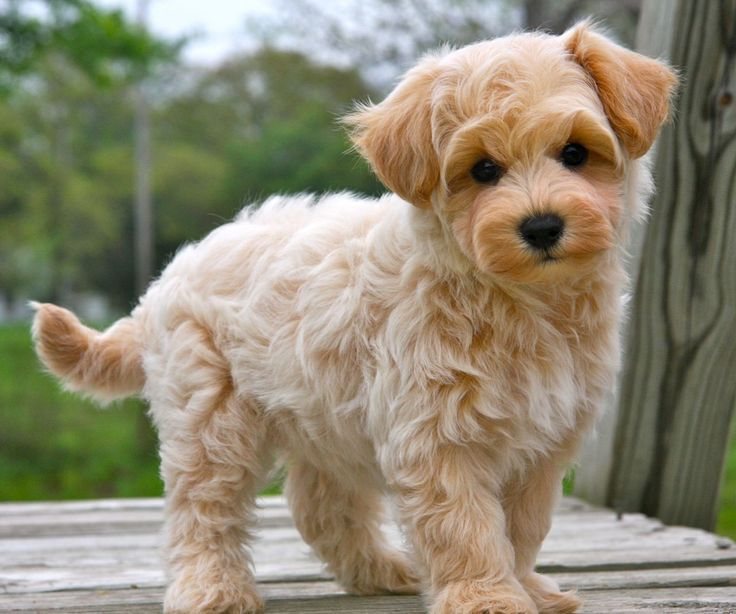 Maltipoo A Maltese And A Poodle Yes It Is Okay To Cry Maltipoo Puppy Best Apartment Dogs Maltipoo Puppies For Sale