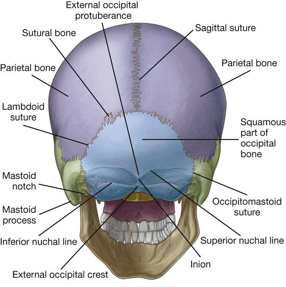 Image Result For Sutures Of The Occipital Bone Anatomy Pinterest