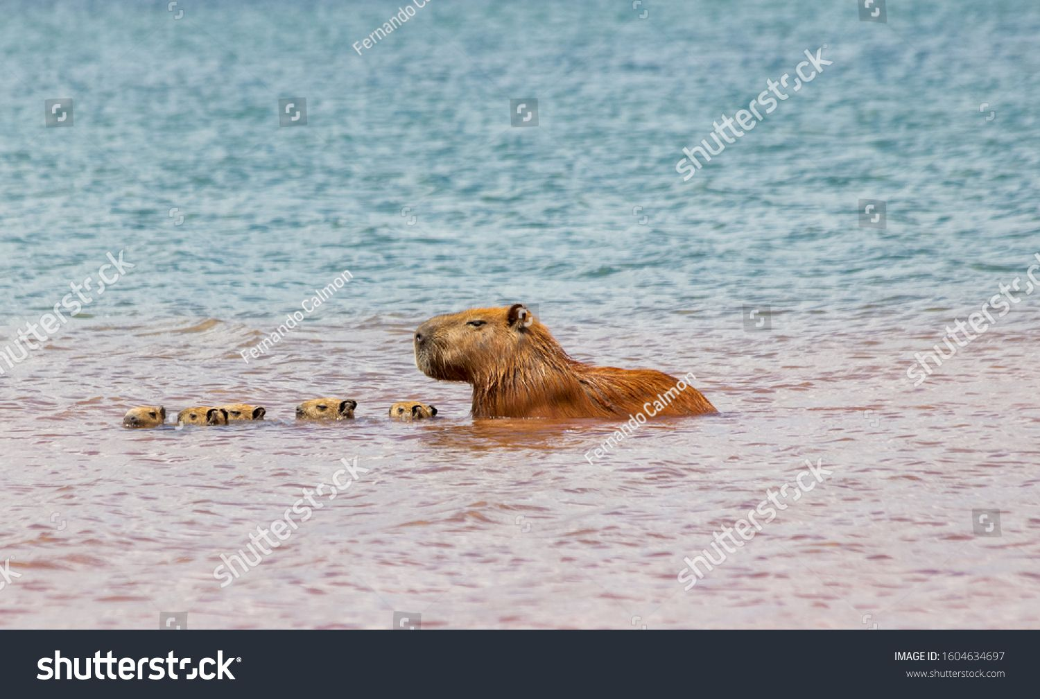 Five capybara chicks swimming together with their mother at Parano¨¢ Lake in Brasilia, Brazil. The capybara is the largest rodent in the world. Species Hydrochoerus hydrochaeris. Wildlife. Cerrado #Ad , #AD, #Lake#Parano#Brazil#Brasilia