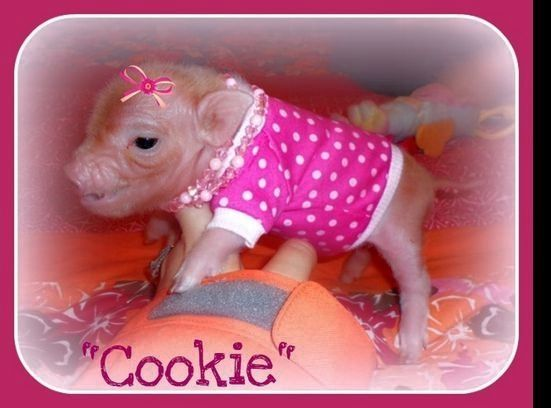 Mini Teacup Pigs Tiny Teacup Pet Pigs for sale in