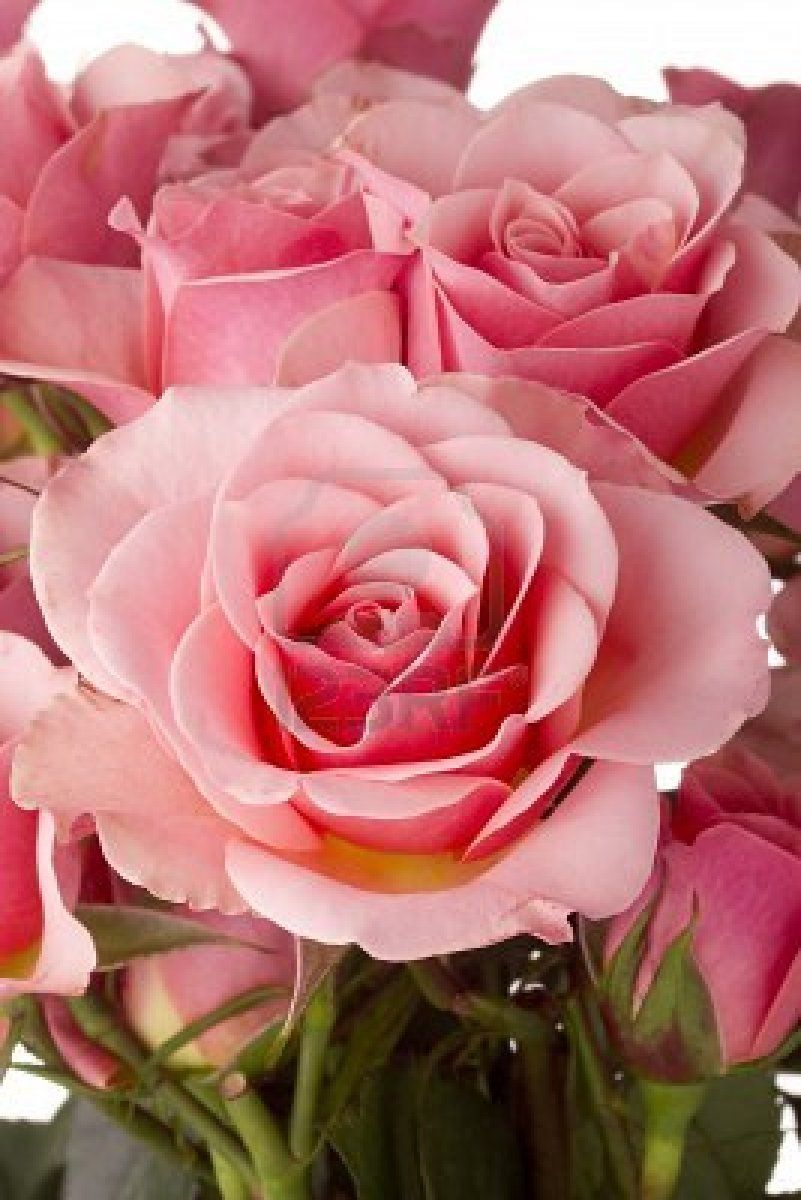lovely roses | the magic of pink | pinterest | rose, pink roses and