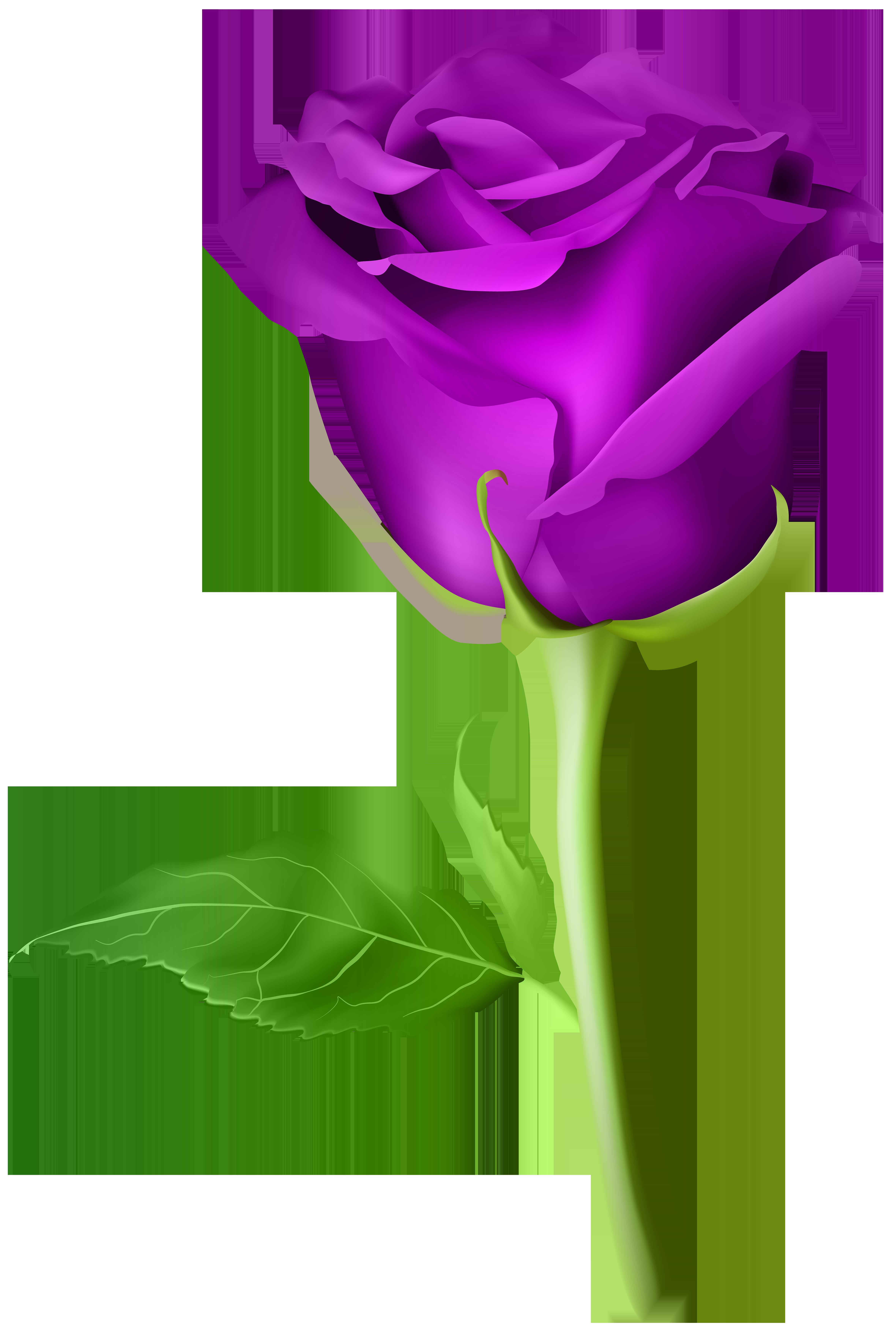 Rose Purple Transparent PNG Clip Art Image   Rose flower pictures, Rose flower wallpaper ...