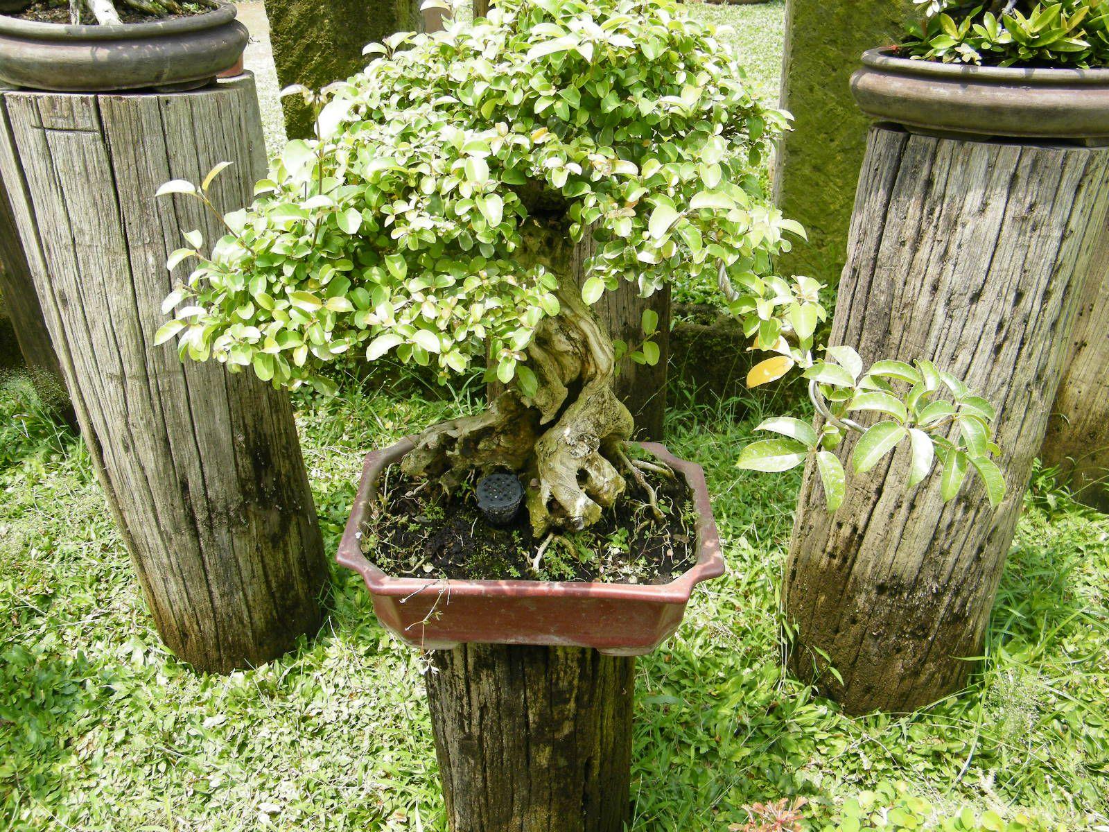 Rogie S Bonsai Garden San Fernando Pampanga Philippines  # Muebles Pampanga