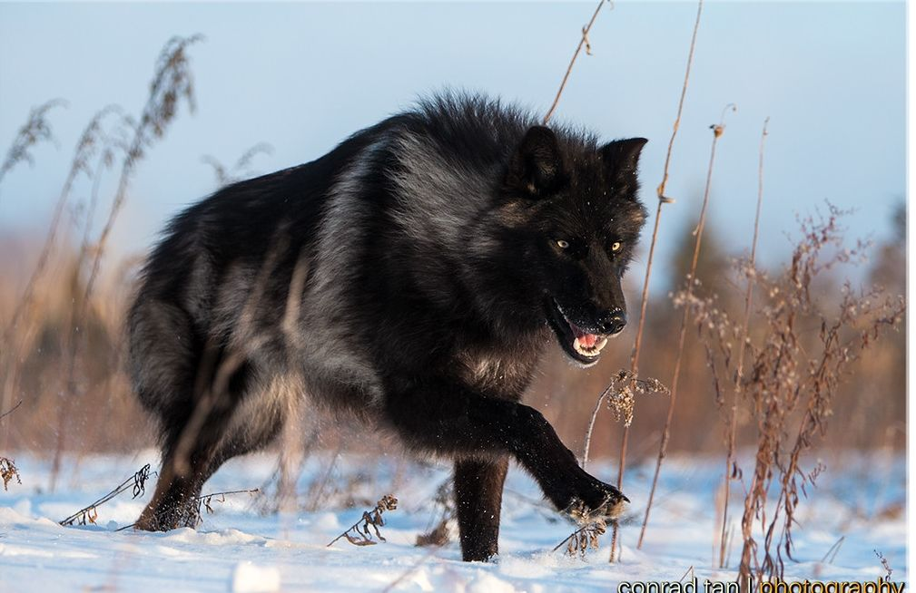 Perfect Timing Photos A Close Encounter With A Minnesota Black Wolf Wolf Photography Black Wolf Timber Wolf