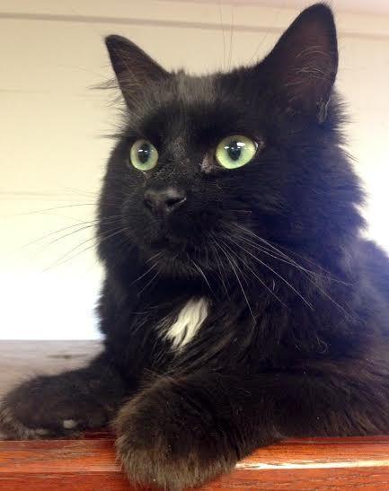 Adopt Hugo On Black Cat Kitty Cats