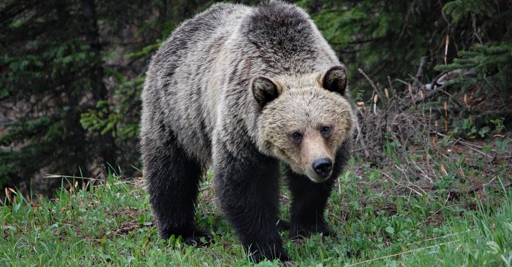 Congresswoman Attempts To Have Grizzly Bears Removed From