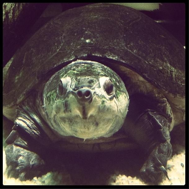 The Giant Amazon River Turtle Is One Of The Largest Freshwater