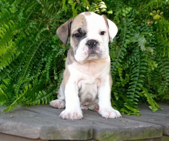 Wrinkles Cutencuddly Mansbestfriend Puppylove Bulldoglove