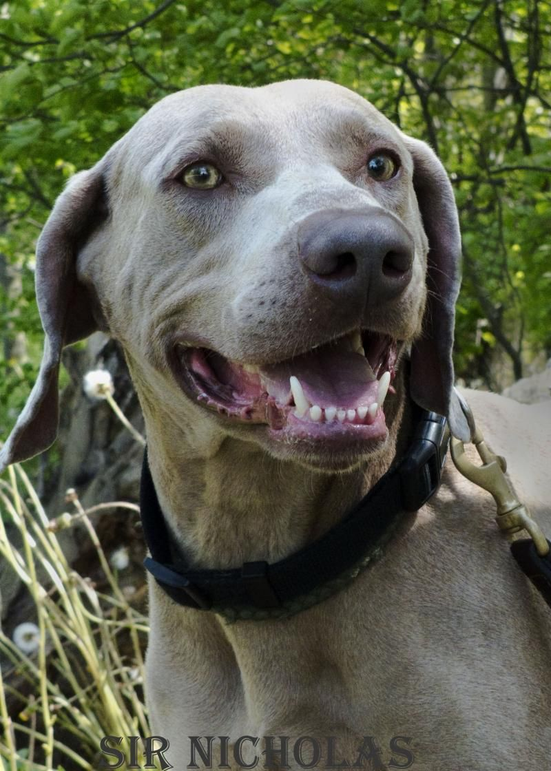 Adopt Mason on Dogs, Weimaraner, Australian cattle dog