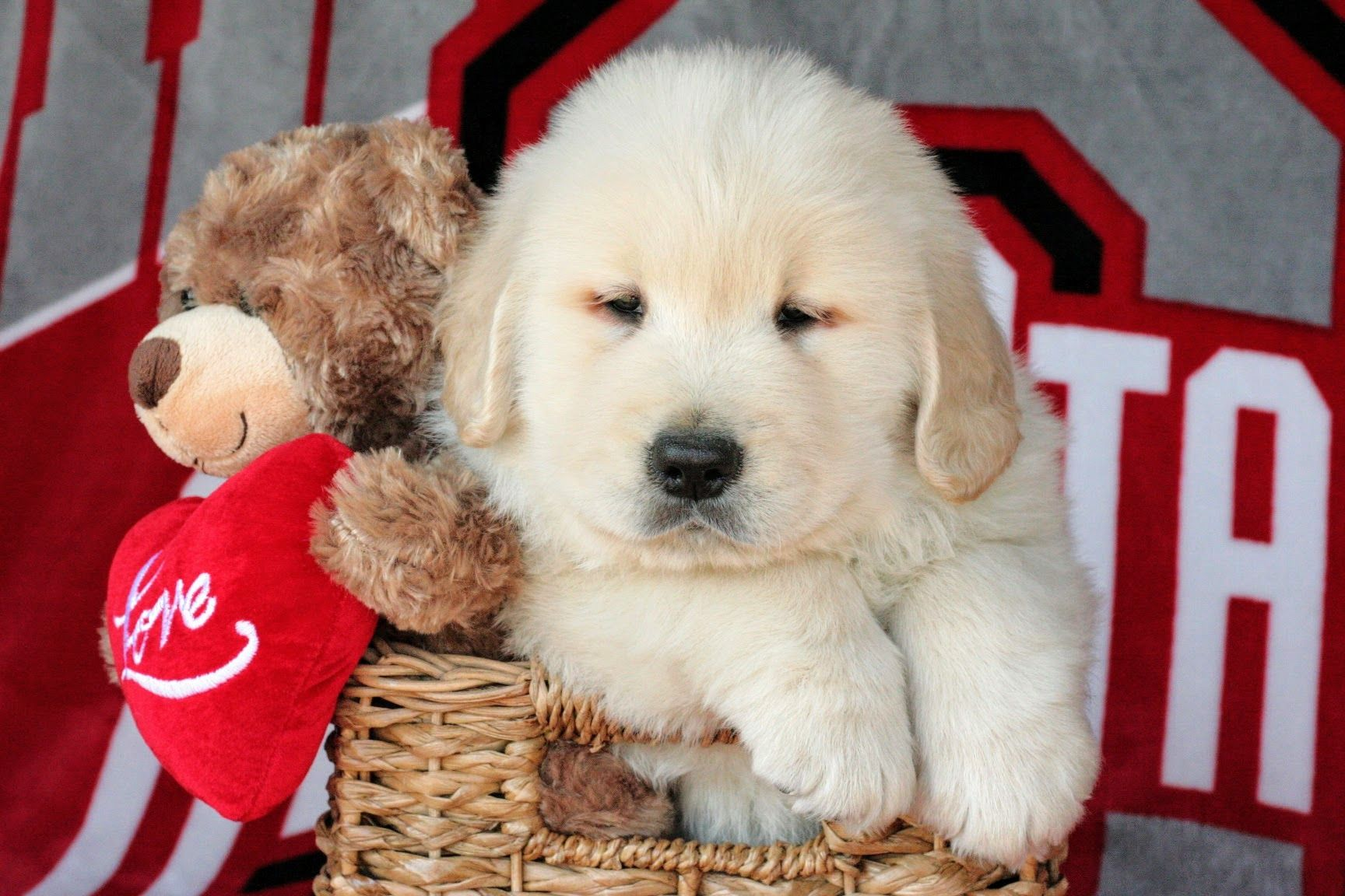 Lebron Golden Retriever Puppies For Sale in Ohio