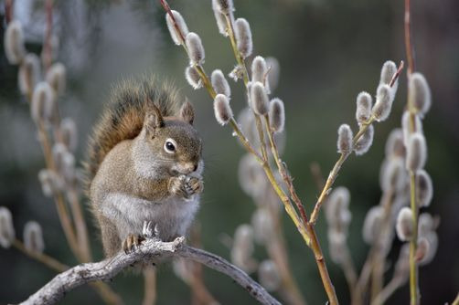 Red Squirrel feeding on spring pussy willow - Alaska