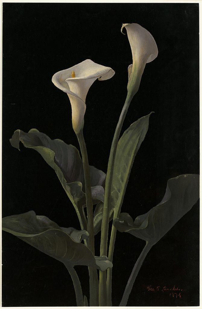 Calla Lilies in 2019 | Calla lily, Zantedeschia, Lily painting