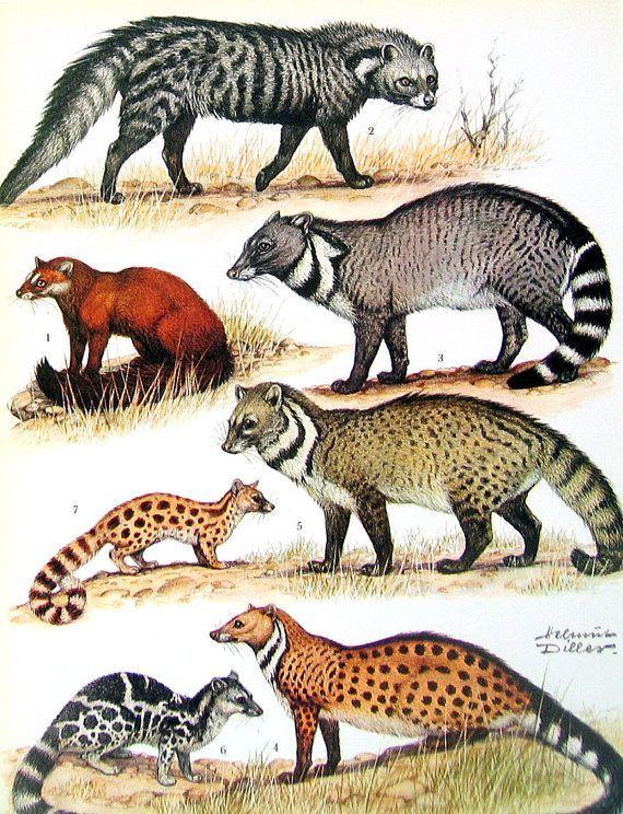 Civets includes Congo Water Civet, African Civet, Large