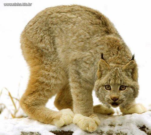 O lince tem patas grandes e com muitos pelos , elas são adaptadas para que não se afundem na neve . As patas especiais facilitam a caminhar na neve , mas dificultam a corrida .