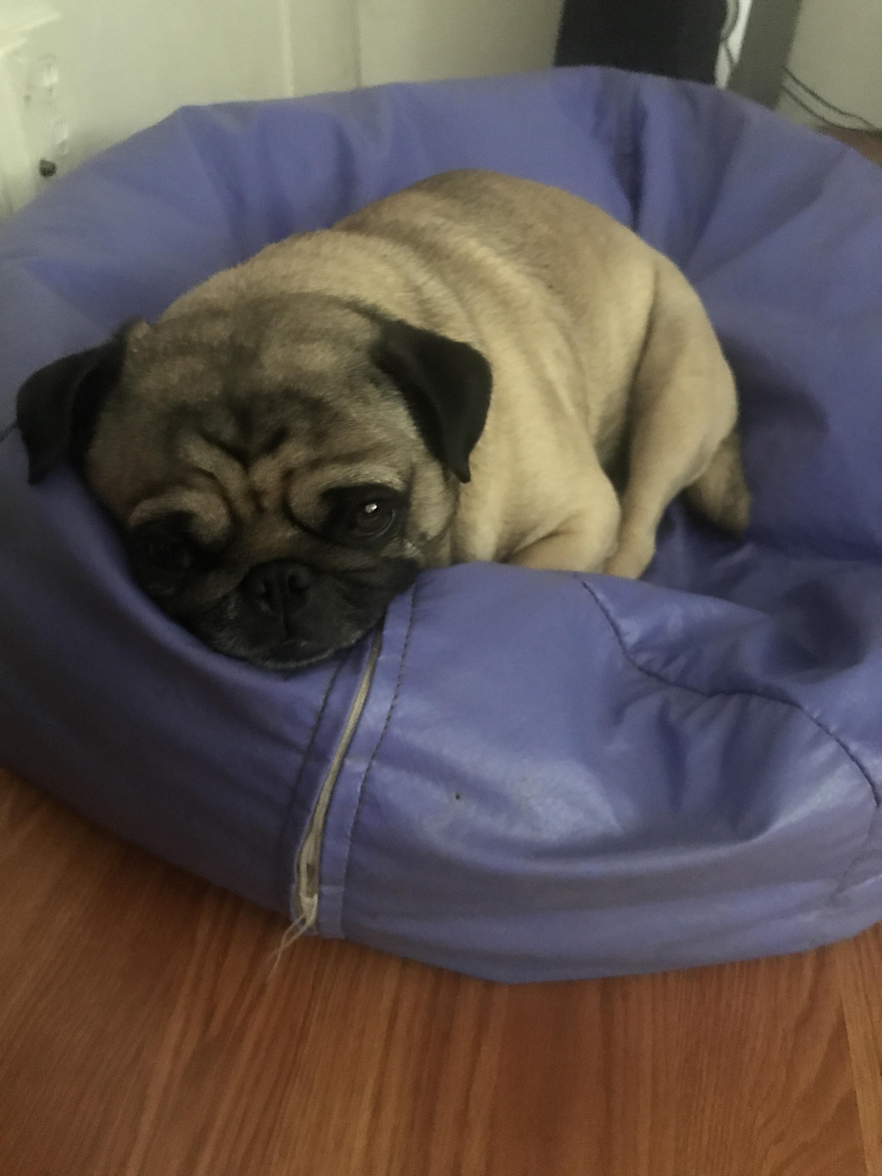 Pleasant He Love His Beanbag And Sleeping On It Pug Pugs Machost Co Dining Chair Design Ideas Machostcouk