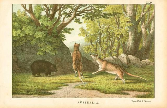 Why the Tasmanian Tiger Wasn't a Tiger, and Other Fun Facts ...
