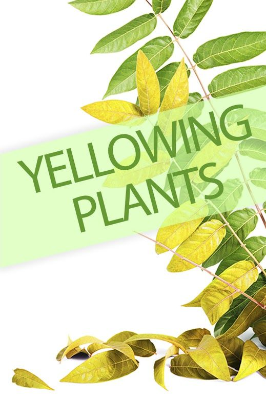 Why are your houseplants turning yellow? Find out @ http://www.ambius.com/blog/why-are-my-plants-turning-yellow/