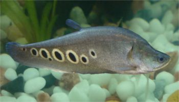 Clown Knifefish Notopterus Chilata Ornamental Fish Cool Fish Aquarium Fish Tropical Fish
