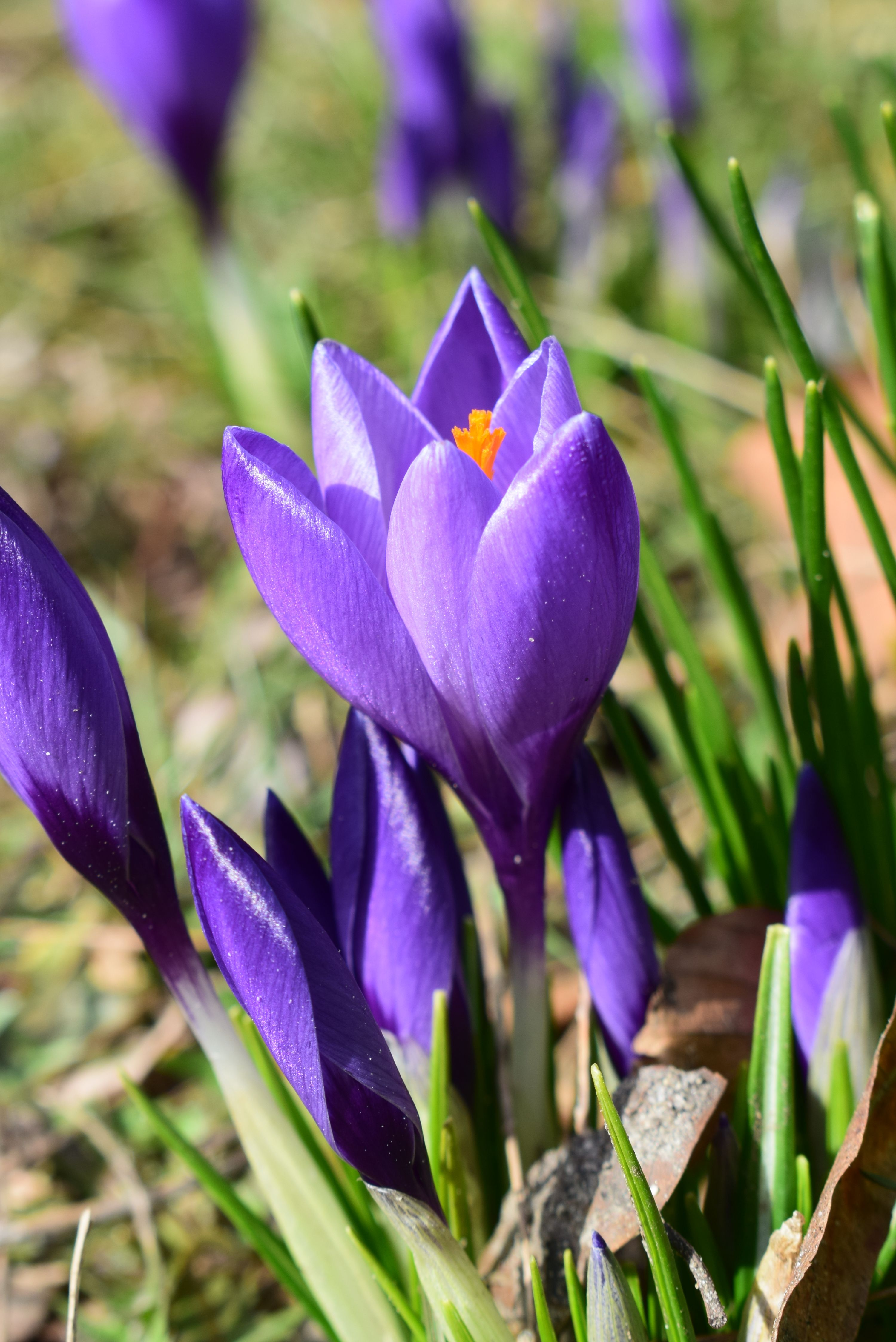 Krokus Stettin Szczecin Kwiaty Flowers Spring Wiosna Plants