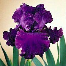 Mulberry Punch Iris