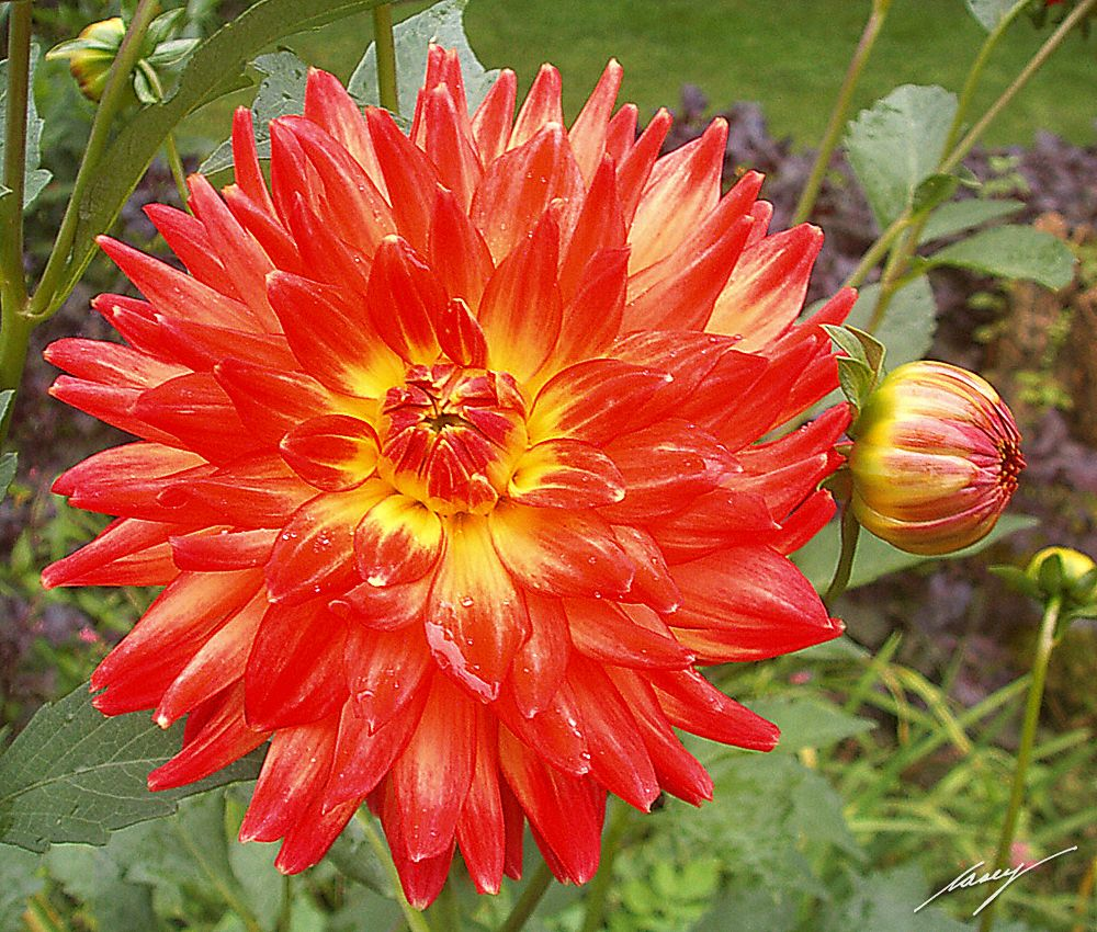 Orange Dahlia Flowers Flowering Season Cant Get Here Soon Enough