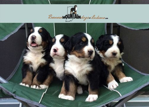 Litter Of 5 Bernese Mountain Dog Puppies For Sale In Columbus In Adn 37072 On Puppyfinder Co Bernese Mountain Dog Puppy Bernese Mountain Dog Puppies For Sale