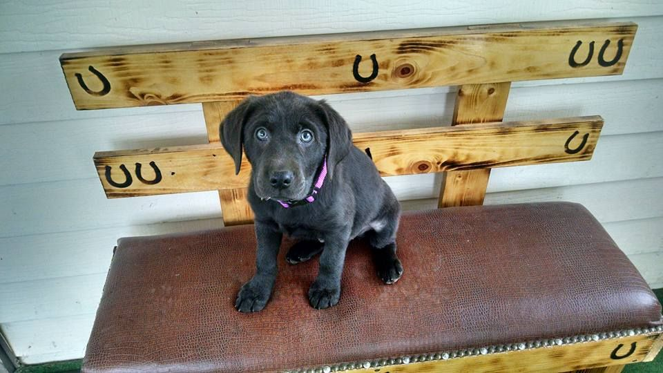 Silver Lab Puppies For Adoption Near Me References