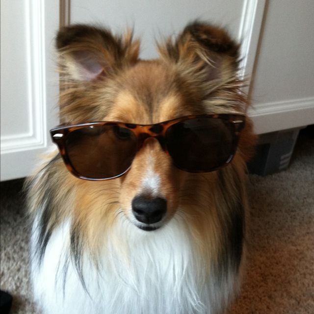 My super amazing cute and spoiled sheltie