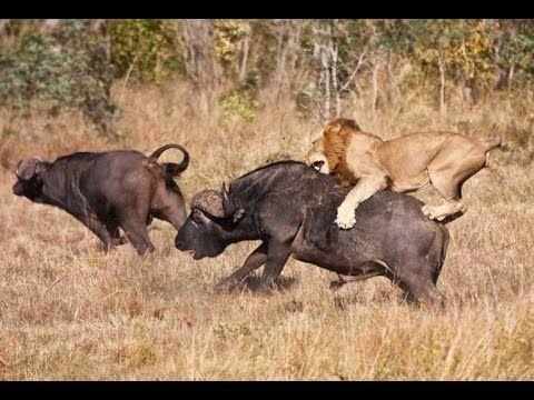 Lion Hunting Buffalo Videos - Lion Kill Buffalo 2014