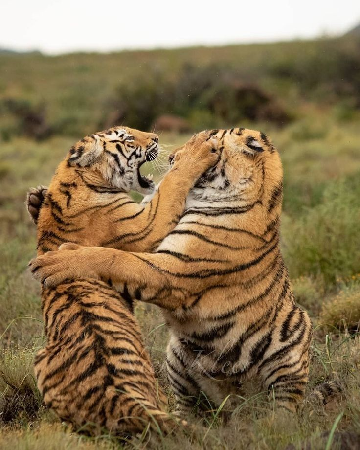 Pin by Melvin Nixon on TIGERS Jungle animal art, Wild