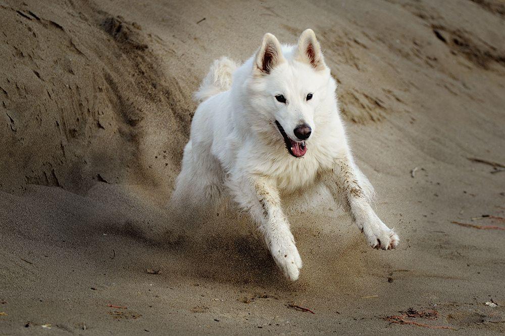 Vom Zauber Weisser Schaferhunde Dog Luxury Weisser Schaferhund Schaferhunde Hunde