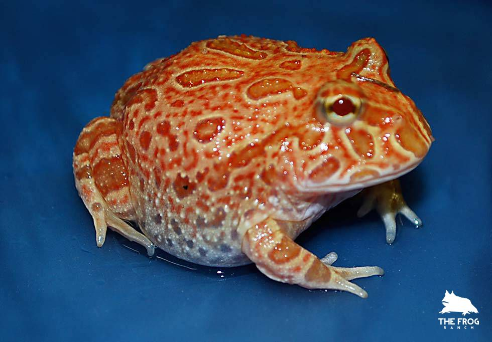 The Frog Ranch | Strawberry Pineapple - The Frog Ranch | Frog species, Pacman frog, Frog