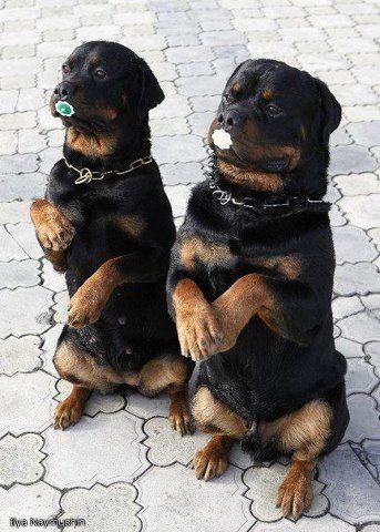 Pin By Delinda Allmond On Rotties Rottweiler Dog Rottweiler Puppies Rottweiler Lovers