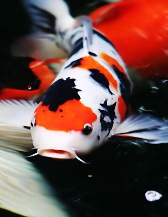 ปลาคราฟ Koi เตร ยมปลาคาร ฟเพ อประกวด Engine By Igetweb Com Koi Koi Fish Japanese Koi