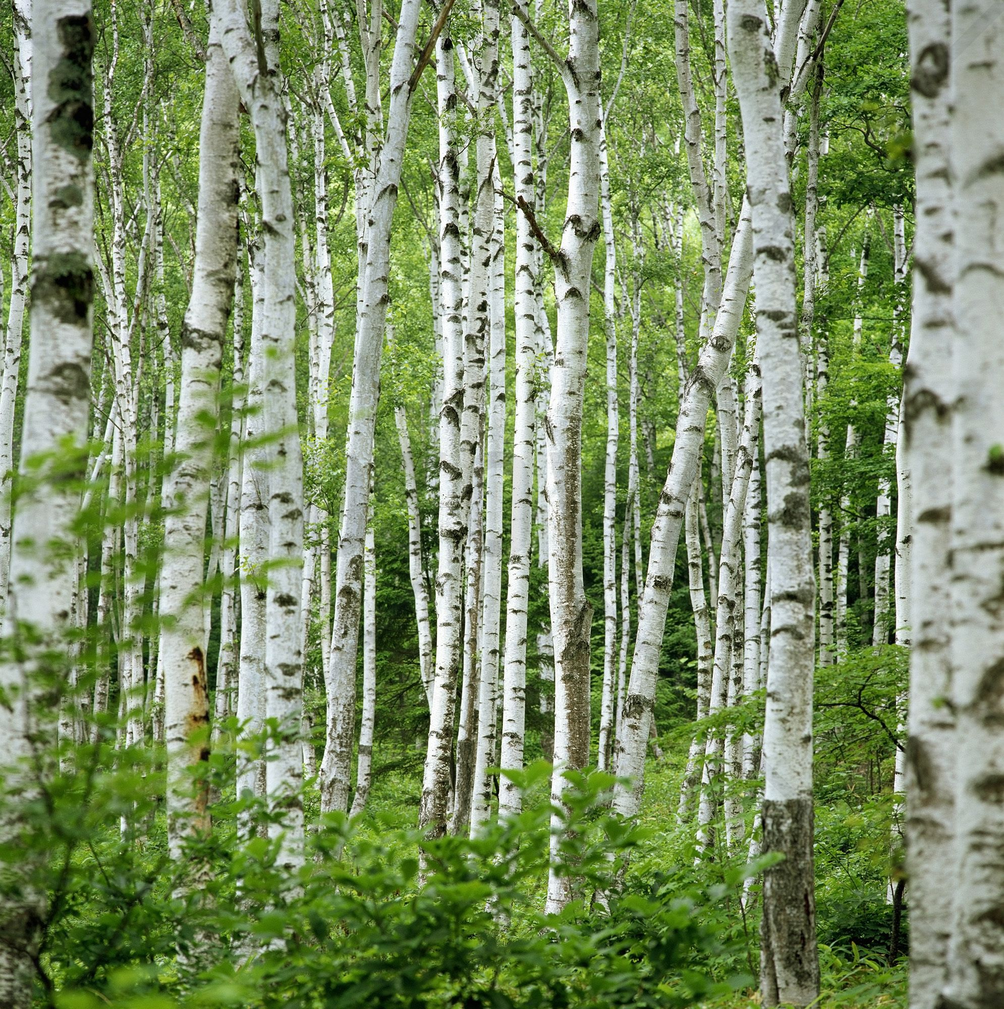 Summer birch trees wall mural photo wallpaper for Birch trees wall mural