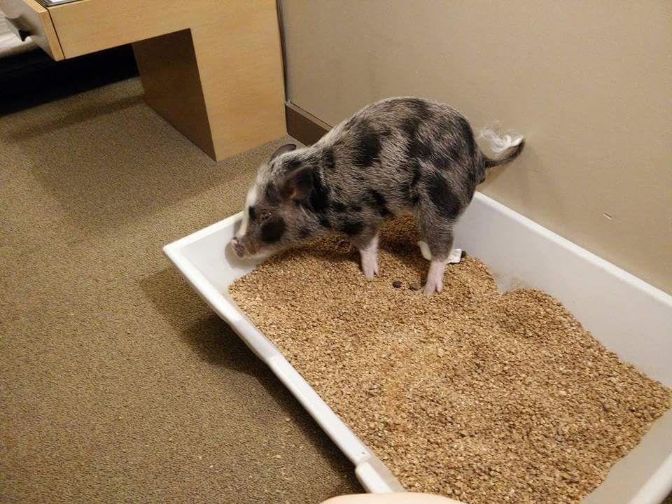 Mini pig litterbox idea piggies pinterest mini pigs for Indoor pig pen ideas