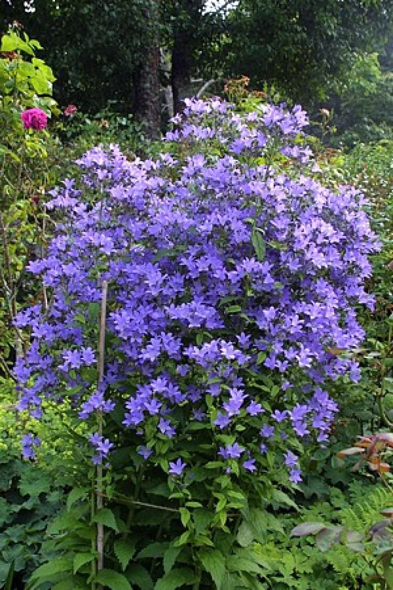 Campanula Prichard S Variety From Uk Plants Bellflower Plant Shade Garden