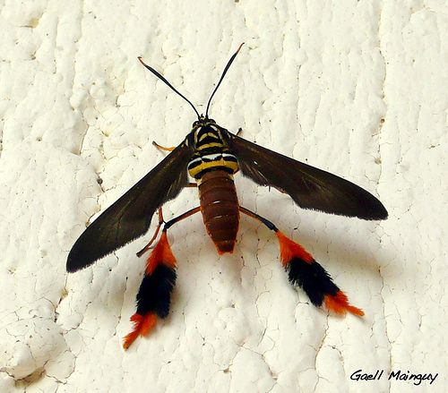 Horama Oedippus Kafer Insekt Insekten Und Falter