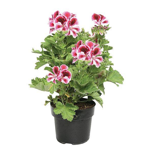 Planta geranio regal 6