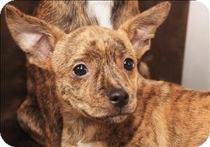 Birmingham Al Rat Terrier Rat Terrier Mix Meet Gideon A Puppy