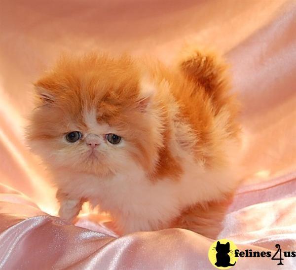 Persian Kittens For Sale In California Persian Kittens Persian Cats For Sale Cat Breeder
