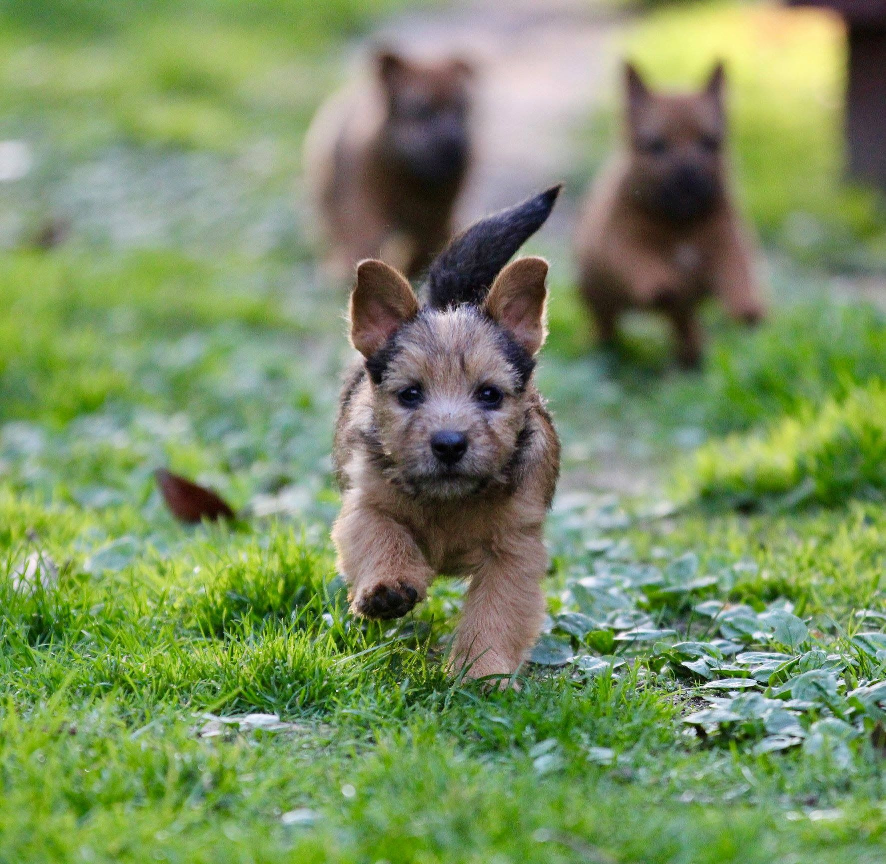 Cairn Terrier Puppies Running Oh So Cute Puppies