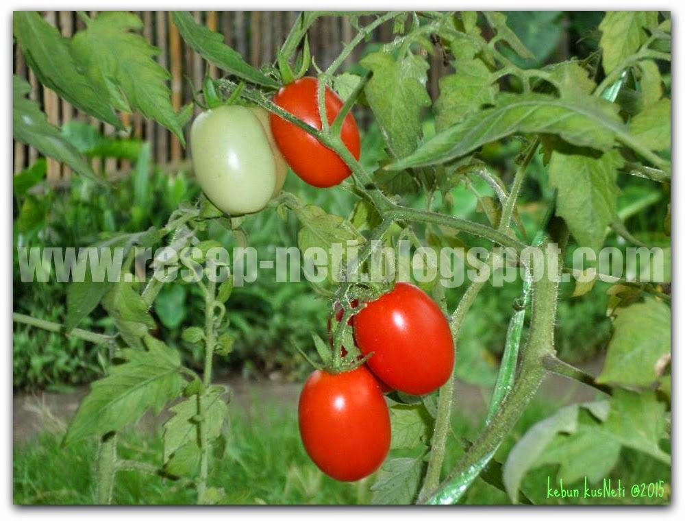 Kebun Berandaku Tentang Tomat My Balcony Home Garden About Tomatoes Resep Masakan Kusneti Tanaman Tomat Kebun Tomat